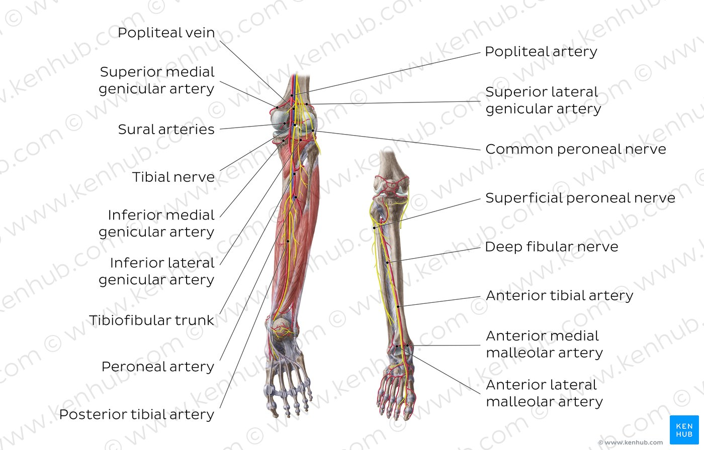 lower leg nerve diagram vehicle damage pictures neurovasculature of the and knee anatomy overview