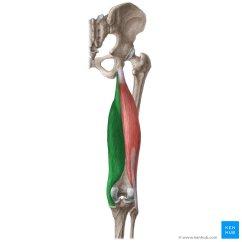 Lower Leg Nerve Diagram Apexi Pen Type Turbo Timer Wiring Semimembranosus Muscle (musculus Semimembranosus) | Kenhub