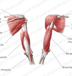 muscles of the arm and the shoulder overview [ 1400 x 840 Pixel ]