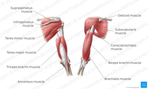 small resolution of muscles of the arm and the shoulder overview