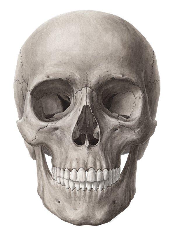 human skeleton diagram without labels front car reverse light wiring skull (anatomy) - study guide | kenhub
