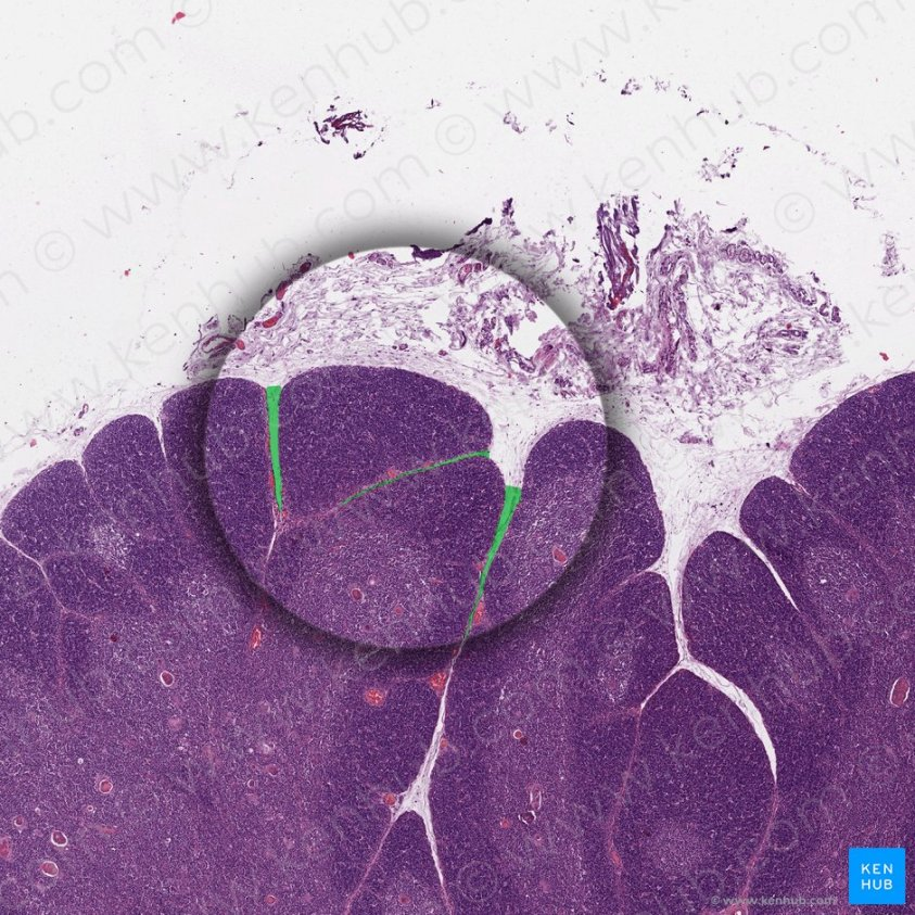 Thymus: Histology, features, cell types and anatomy   Kenhub