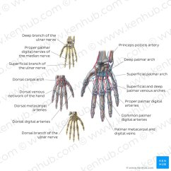 Ulnar Nerve Diagram Old Carrier Furnace Wiring Anatomy And Clinical Notes Kenhub Neurovasculature Of The Hand