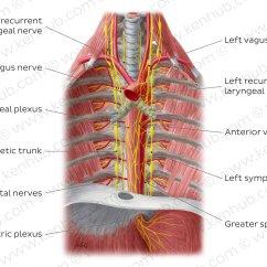 Vagus Nerve Diagram Dyna 2000 Ignition Wiring Suzuki Pictures Nerves Of The Esophagus Anatomy Kenhub