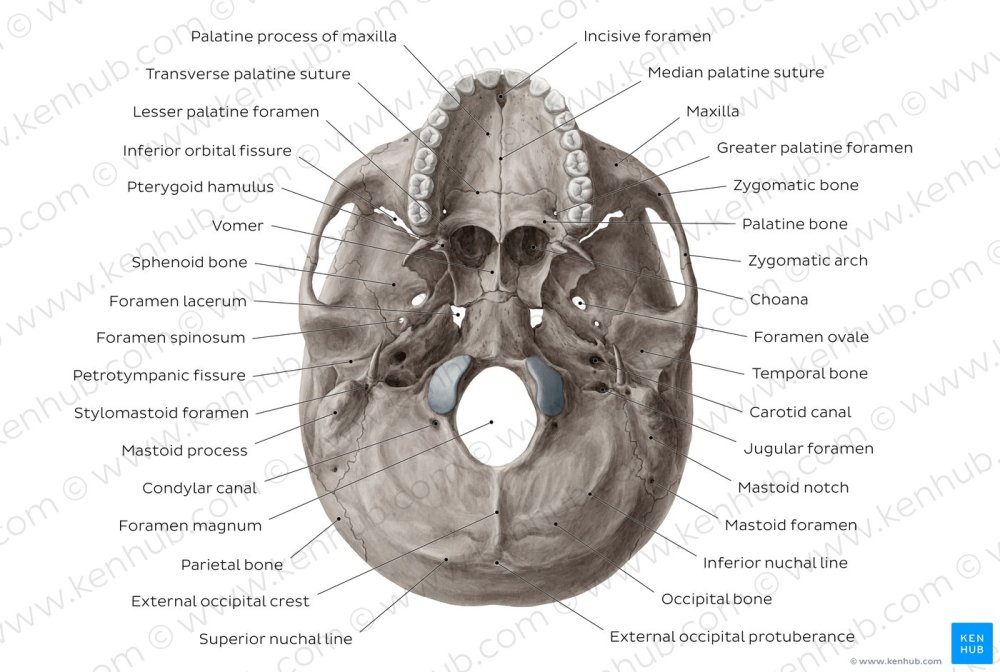 medium resolution of inferior view of base of the skull overview