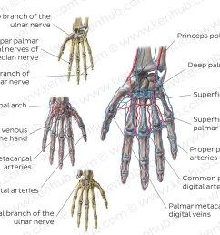 neurovasculature of the hand overview [ 1400 x 952 Pixel ]