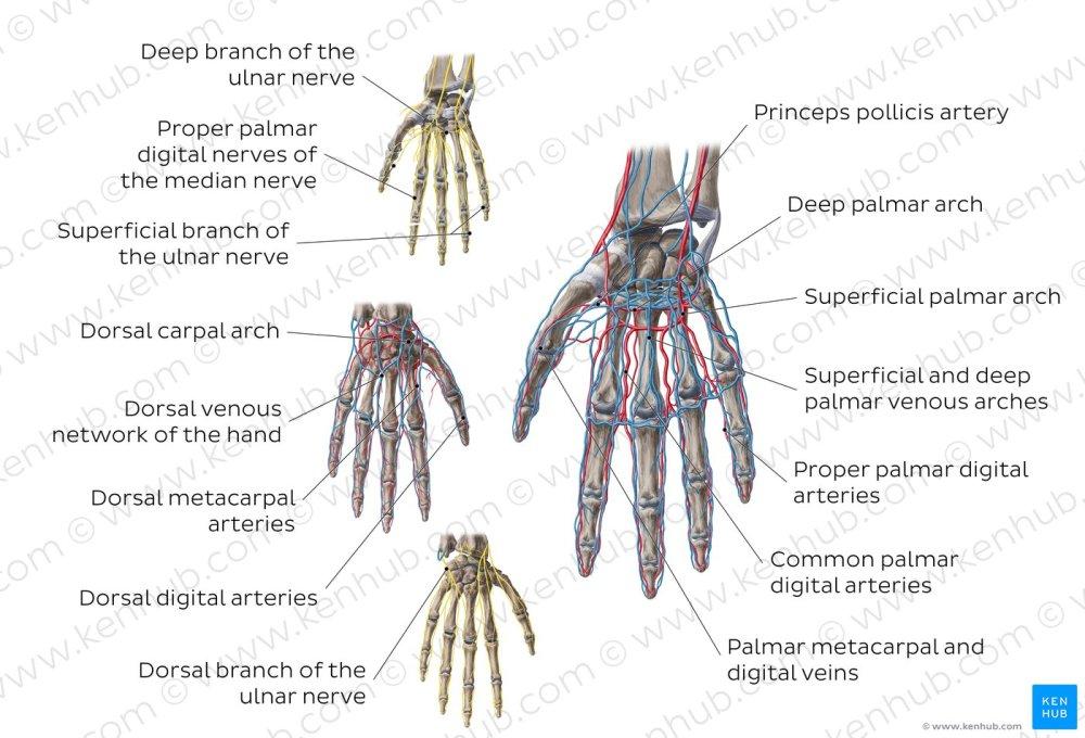 medium resolution of neurovasculature of the hand overview