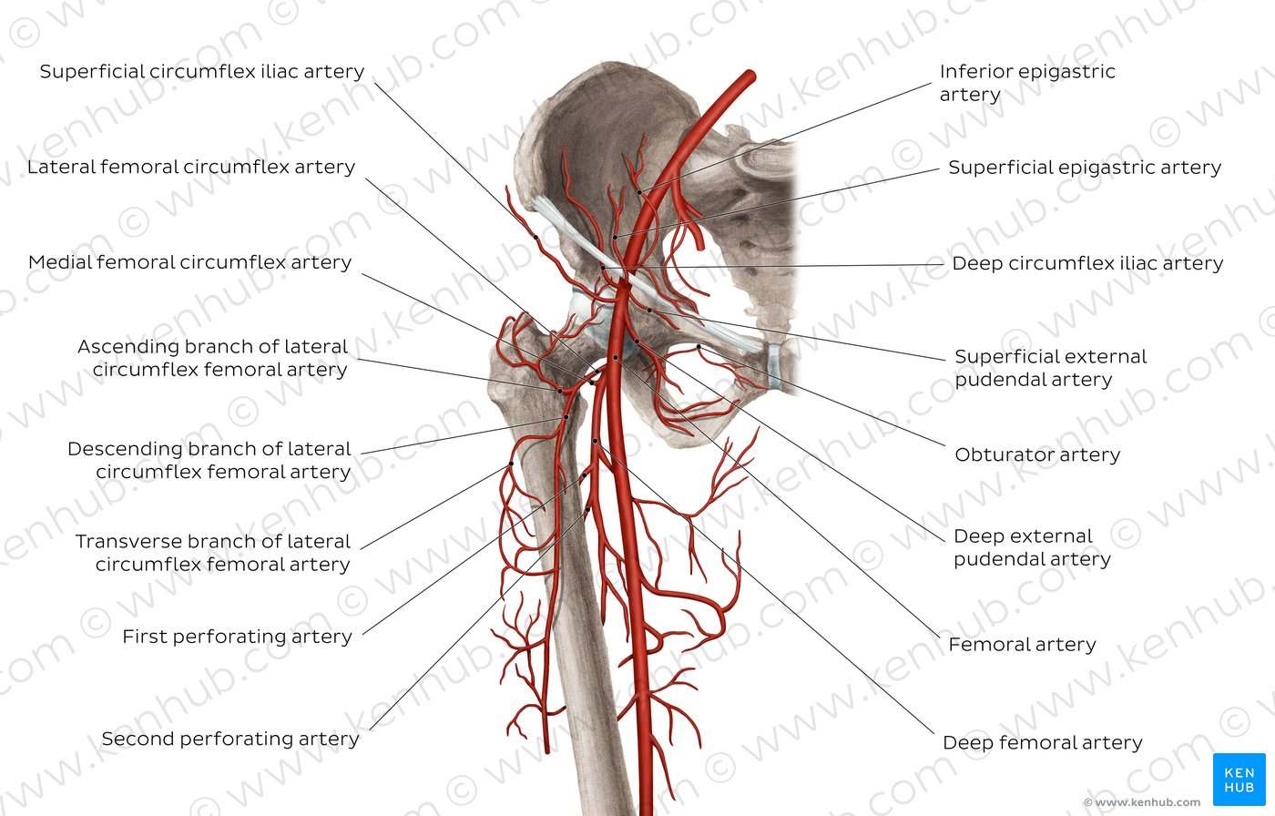 hight resolution of atlas femoral artery and its branches