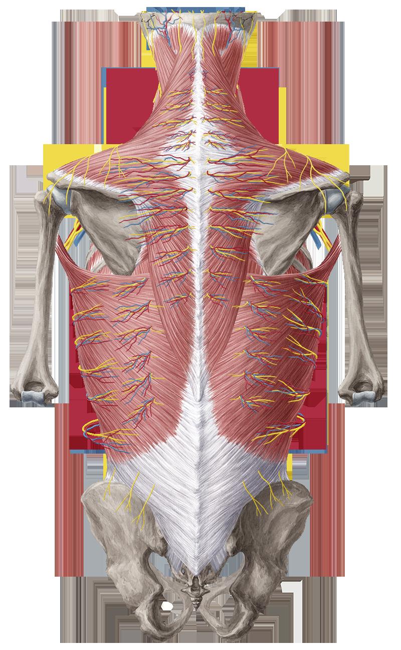 Dorsal trunk - Anatomy Study Guide | Kenhub