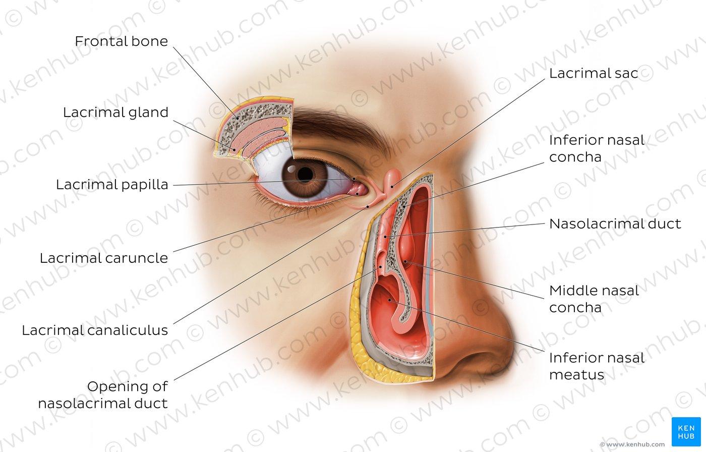 hight resolution of atlas lacrimal apparatus