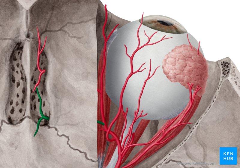 Blood Vessels and Nerves of the Eye - Anatomy   Kenhub