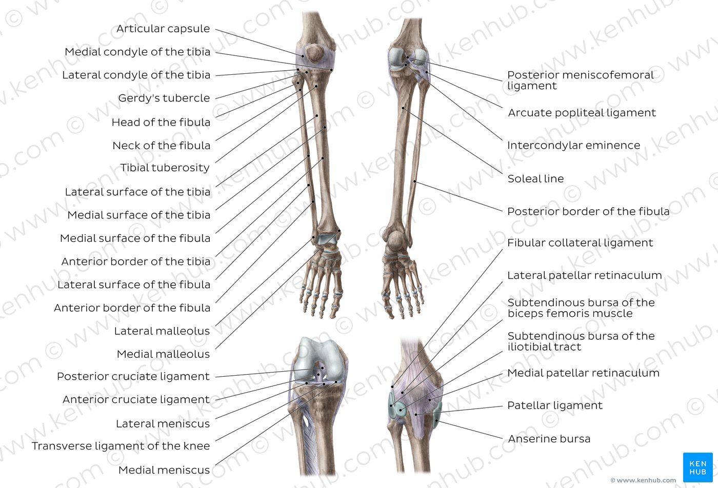 hight resolution of tibia and fibula overview