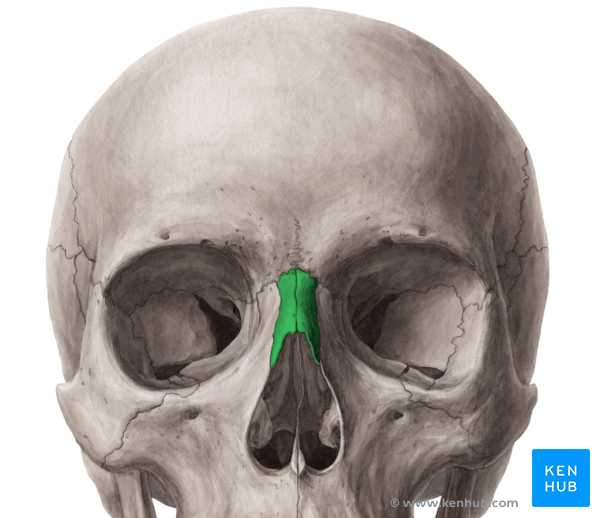 face bone diagram visio activity the nasal - anatomy, borders, development, pathology | kenhub