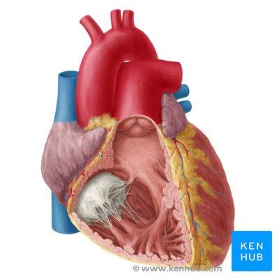heart anatomy structure valves