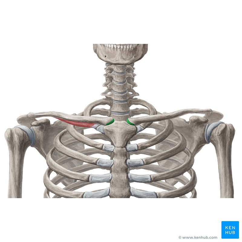 Rotating Lower Arm Bone