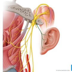 Vagus Nerve Diagram Wire Harness Anatomy Function Branches Kenhub Auricular Branch Of Lateral Left View