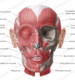 muscles of facial expression overview [ 1400 x 896 Pixel ]