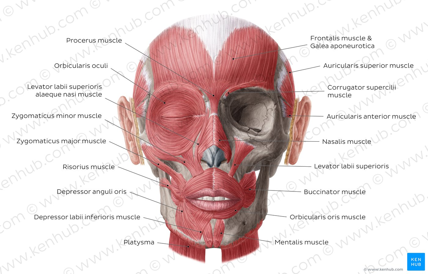 hight resolution of muscles of facial expression overview