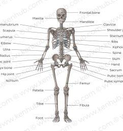 skeletal system overview [ 1400 x 896 Pixel ]