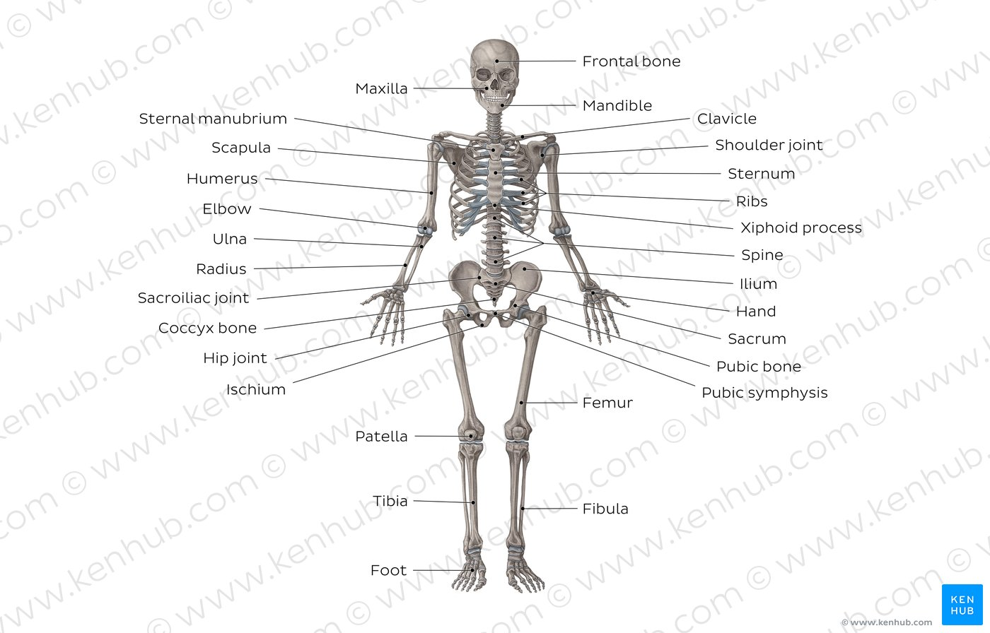 hight resolution of skeletal system overview