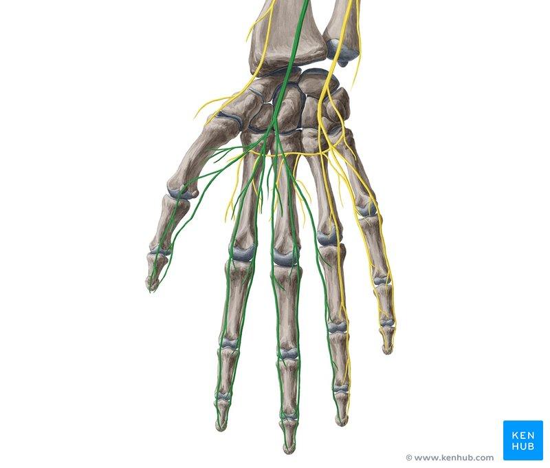 hand nerves diagram 1997 subaru impreza stereo wiring thenar muscles anatomy innervation function kenhub median nerve ventral view