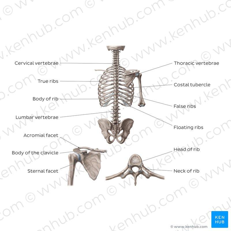 cervical vertebrae diagram honeywell humidifier wiring spine anatomy ligaments nerves injury kenhub bones of the dorsal trunk