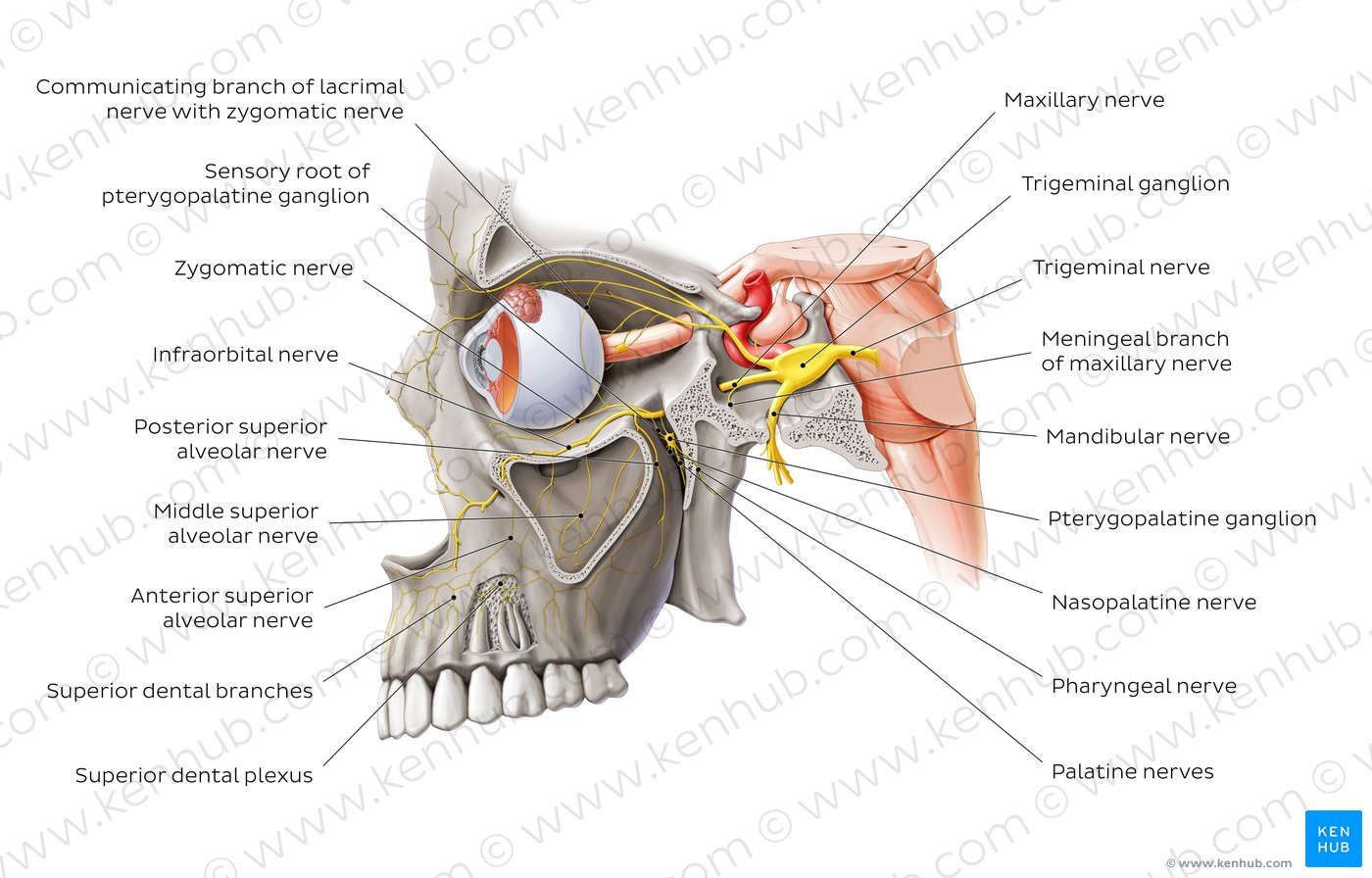 trigeminal nerve diagram 1995 ford f150 wiring maxillary innervation imagenesmy