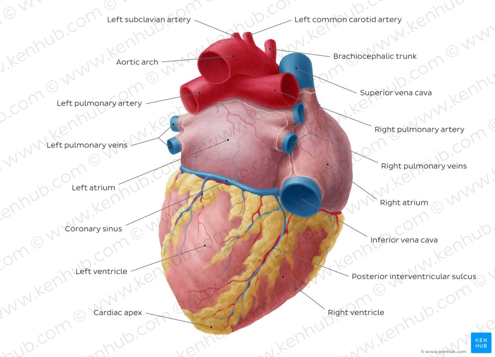 medium resolution of atlas posteroinferior view of the heart