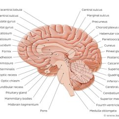 Brain Diagram Pons E36 Rear Speaker Wiring Midbrain And Anatomy Location Parts Definition Kenhub Medial View Of The