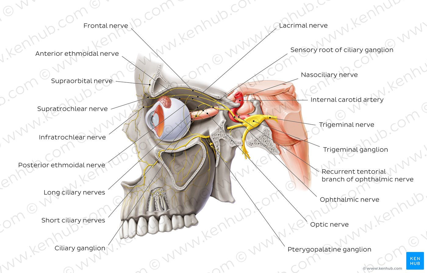trigeminal nerve diagram starter wiring chevy 305 pictures ophthalmic anatomy kenhub