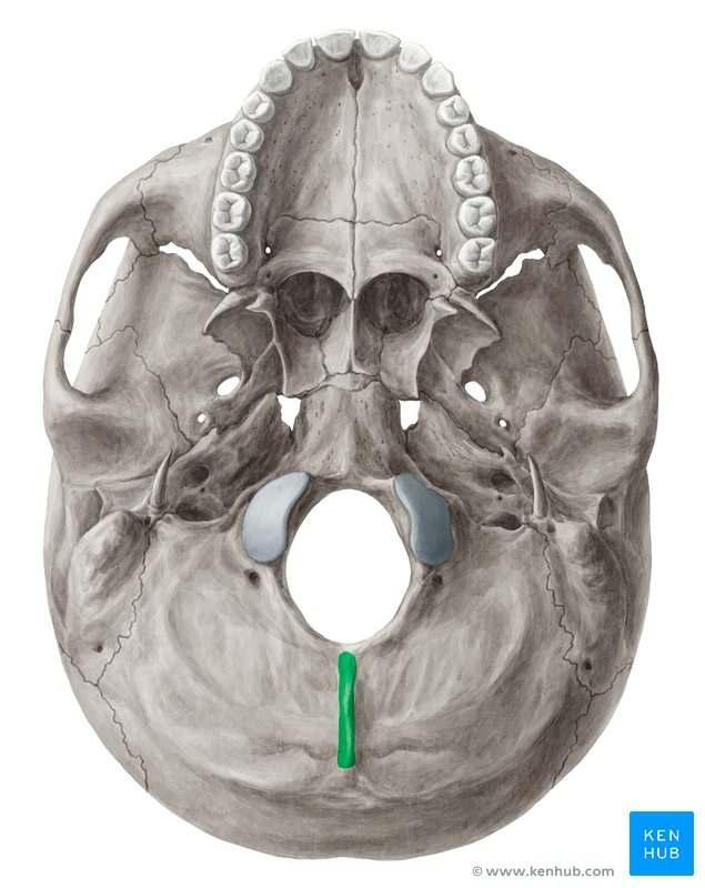 diagram of skull superior view anatomy network rj45 wiring external occipital crest (crista occipitalis externa) | kenhub