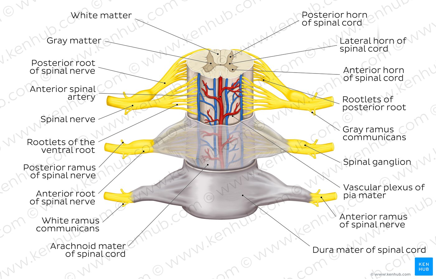 spinal cord and nerves diagram c5 corvette wiring pictures membranes nerve roots