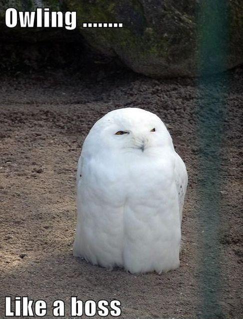 Hilariously Adorable Owl Memes 8