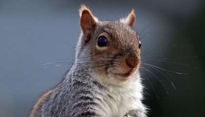Volunteers Counted All the Squirrels in Central Park