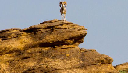 The Decades-Long Effort to Protect the World's Largest Sheep