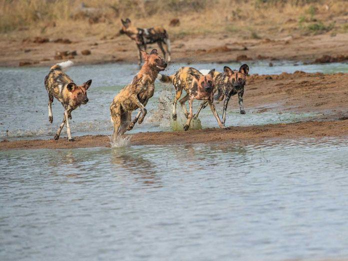 Wild Dogs in Water