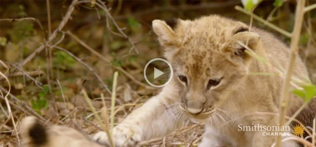 Is Sibling Rivalry an Important Survival Tool for Lion Cubs?