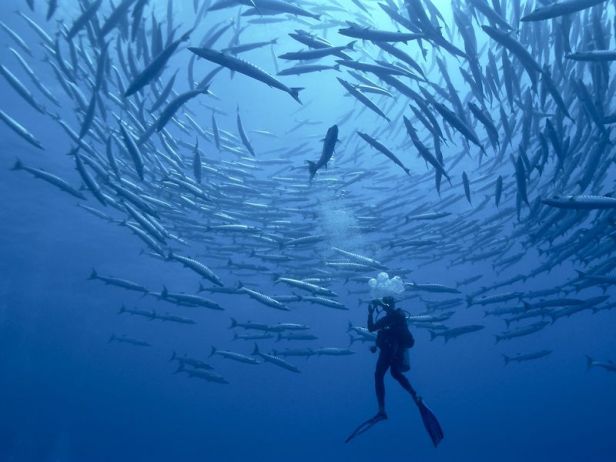 A group of barracudas dances in a circular round to be seen by predator as a big predator. My friend decided to enter into the circle.