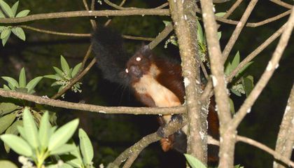 New Species of Giant Flying Squirrel Discovered in China