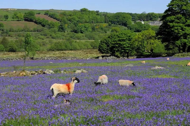 Dartmoor會開藍色鐘形花的草 庫存照片. 圖片 包括有 停泊, 會開藍色鐘形花的草, 國家, 德文郡 - 27041448
