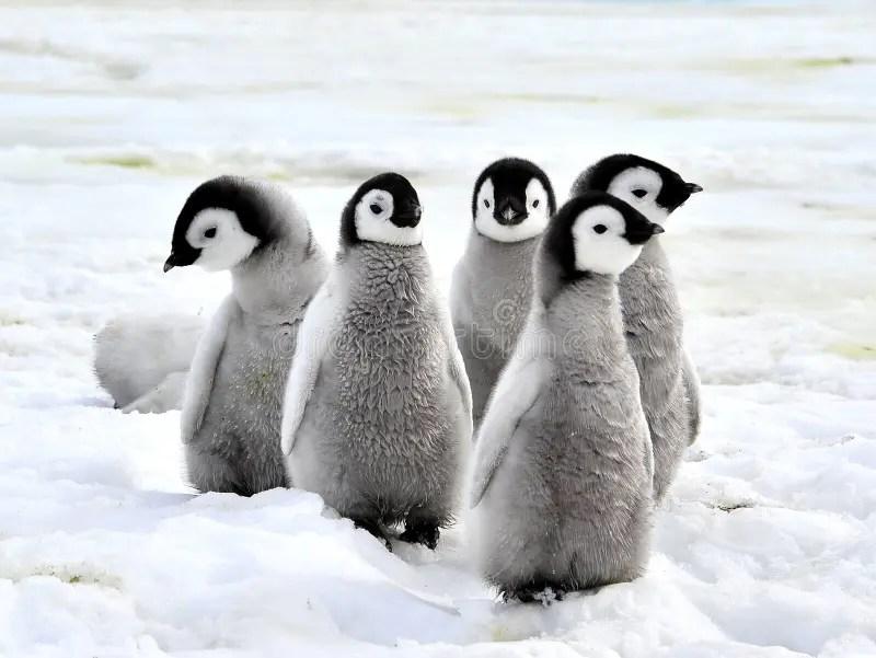 皇企鵝 庫存圖片. 圖片 包括有 皇企鵝 - 16891333