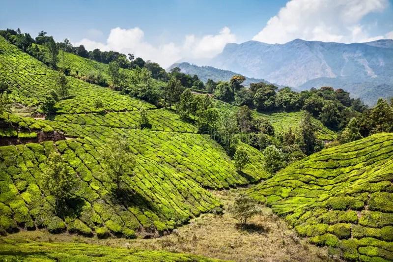 茶園在Munnar 庫存圖片. 圖片 包括有 茶園在munnar - 28313217