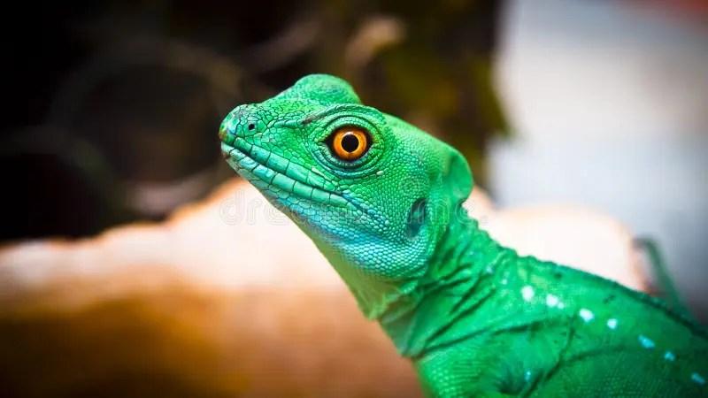 鬣鱗蜥蜥蜴在海洋公園, 安排 - 63298619