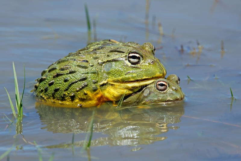 非洲牛蛙巨型聯接 庫存照片. 圖片 包括有 室外, 牛蛙, 本質, 敵意, 通風, 未損壞, 生態, 池塘 - 49641198