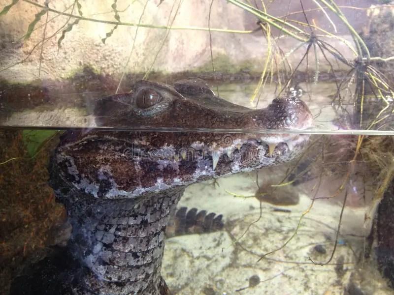 鱷魚犧牲者等待 庫存照片. 圖片 包括有 鱷魚犧牲者等待 - 25102276