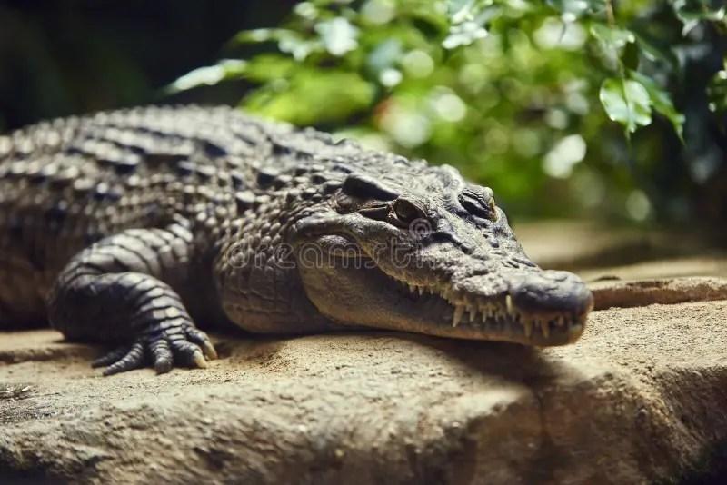 鱷魚灣鱷mindorensis菲律賓 庫存圖片. 圖片 包括有 保存. 鱷魚. 菲律賓. 保護. mindoro - 24014589