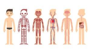 Anatomy diagram stock vector Illustration of graph, info