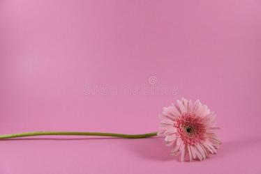 Beautiful Closeup Of Pink Flower On Pink Background Wallpaper Pink Flower Background Stock Photo Image of good floral: 148009990