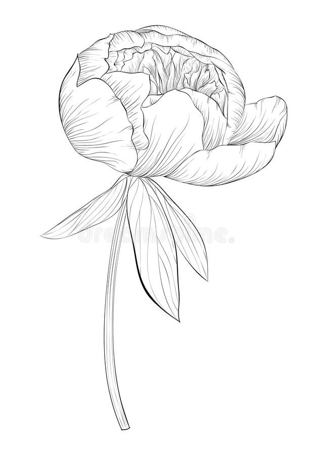 Beautiful Monochrome Black And White Peony Flower Isolated On White