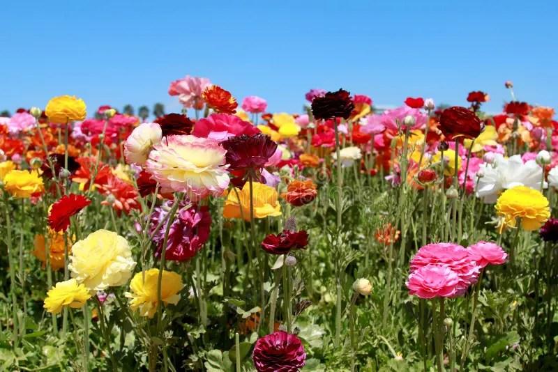 Blhende Blumen stockbild Bild von pink vibrant betriebe  19575121